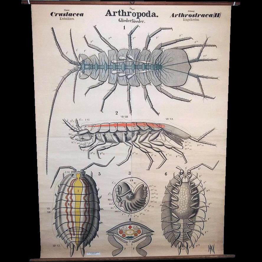 Leuckart Antique 1900s Zoology Wall Chart, Crustacea