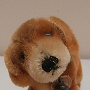 Sweet Small Steiff Bazi Dachshund, Steiff Button and Steiff Chest Tag 1950 to 1961