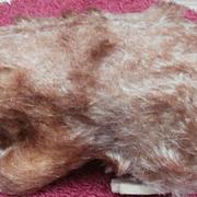 Steiff MUrmy Marmot, 1960 to 1964 , Steiff Chest Tag