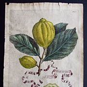 Antique Engraving of Citrus Fruit 1646 from Hesperides sive, De Malorum Aureorum