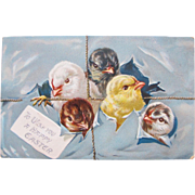 Easter Post Card with Different Color Chicks Tucks Embossed