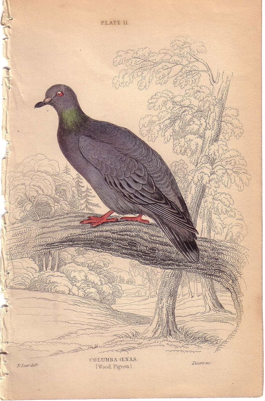 19th Century Engraving by LIZARS & LEAR, Wood Pigeon