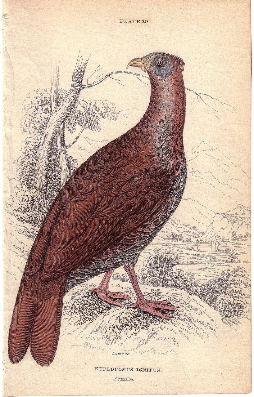 19th Century Engraving by LIZARS, Female Pheasant