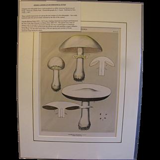 Original Color-Lithograph Edible Mushrooms & Fungi, Charles Peck