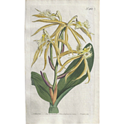 Lovely Colored Engraving from Curtis Botanical Magazine