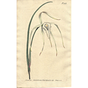 Lovely Engraving from Curtis Botanical Magazine