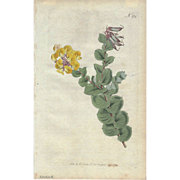 Lovely Engraving from Curtis Botanical Magazine