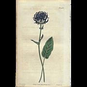 Lovely Antique Botanical Print from Curtis Botanical Magazine