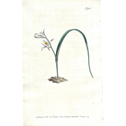 Lovely CURTIS Botanical Print circa 1806 STAR OF BETHLEHEM