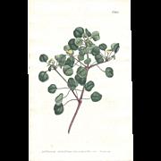 Lovely CURTIS Botanical Print circa 1806 LONG-STALKED SPURGE