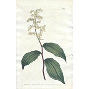 Lovely CURTIS Botanical Print circa 1806 SOLOMON'S SEAL