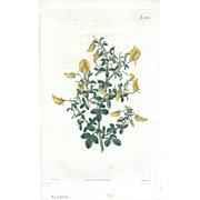 Lovely CURTIS Botanical Print circa 1823 SMALL-LEAVED REST-HARROW