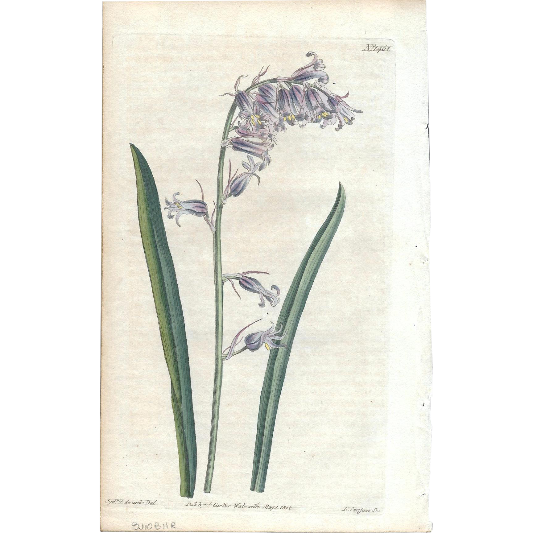 Lovely CURTIS Botanical Print circa 1812 PINK-COLORED HAREBELLS
