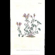 Lovely CURTIS Botanical Print circa 1803 LARGE-FLOWERED SCUTELLARIA