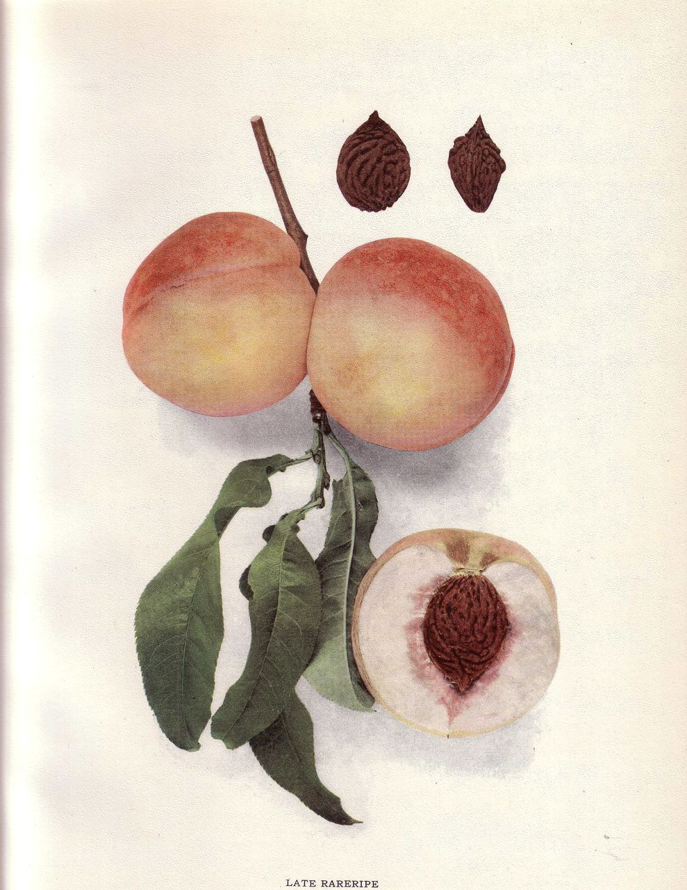 Lovely Fruit Print, 1917, PEACHES OF NY Late Rareripe, Hedrick