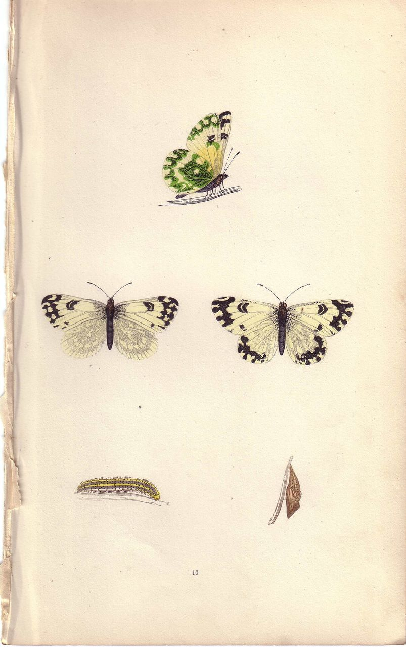 Lovely Hand-Colored Engraving Butterfly CHEQUERED WHITE, Morris