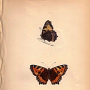 Lovely Butterfly Print, Small TORTOISE-SHELL, Plate XXX