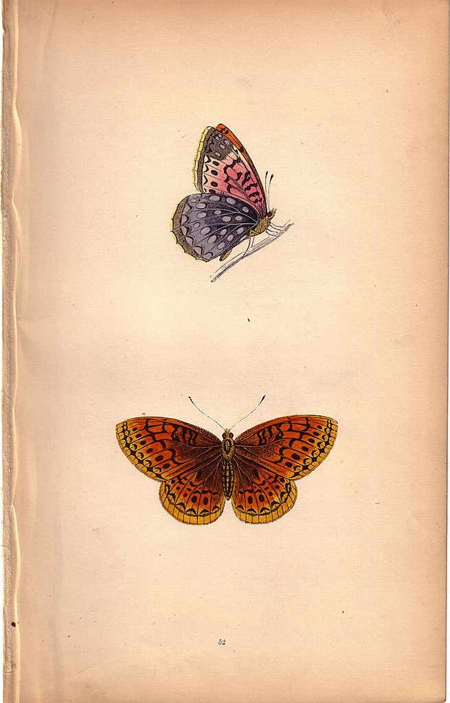 Lovely Colored Plate from Morris Butterfly Book, VENUS FRITILLARY