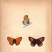 Lovely Colored Plate from Morris Butterfly Book, LARGE COPPER