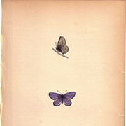 Lovely Colored Plate from Morris Butterfly Book, MAZARINE BLUE