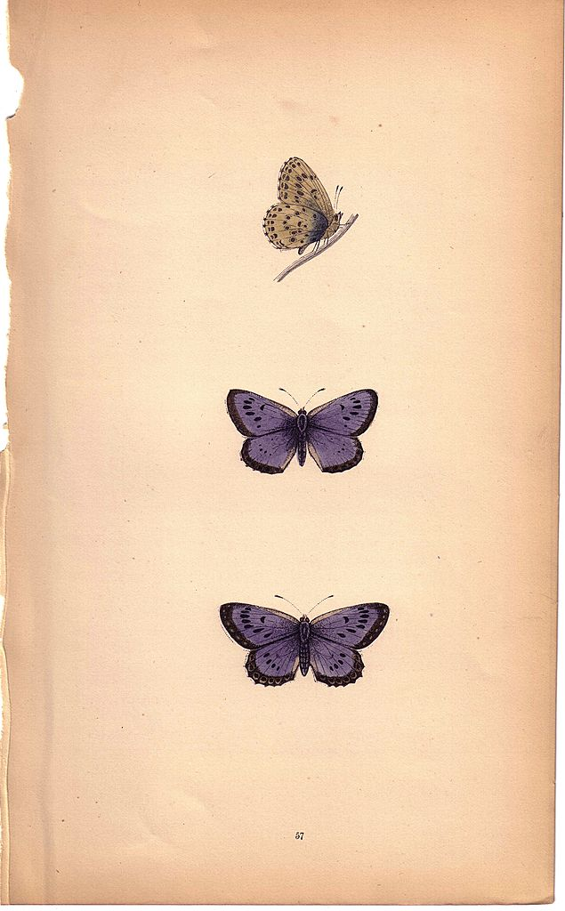 Lovely Colored Plate from Morris Butterfly Book, LARGE BLUE