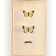 Lovely Hand-Colored Engraving PALE CLOUDED YELLOW Butterfly