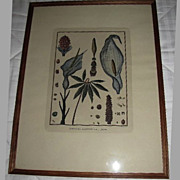 Lovely Framed Botanical Hand-Colored Copper Engraving, Scattaglia
