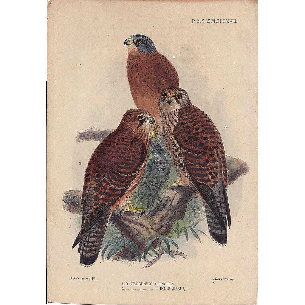 1874 Hand-Finished Color Lithographs John G. Keulemans, PZS