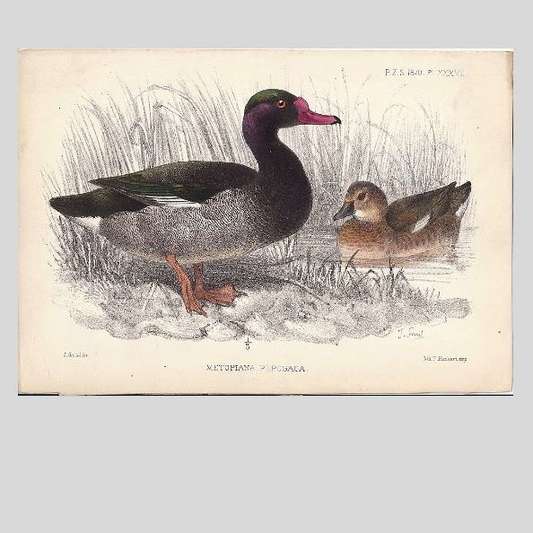 1870  Joseph Smit Hand-Finished Chromolithograph from PZS, Ducks
