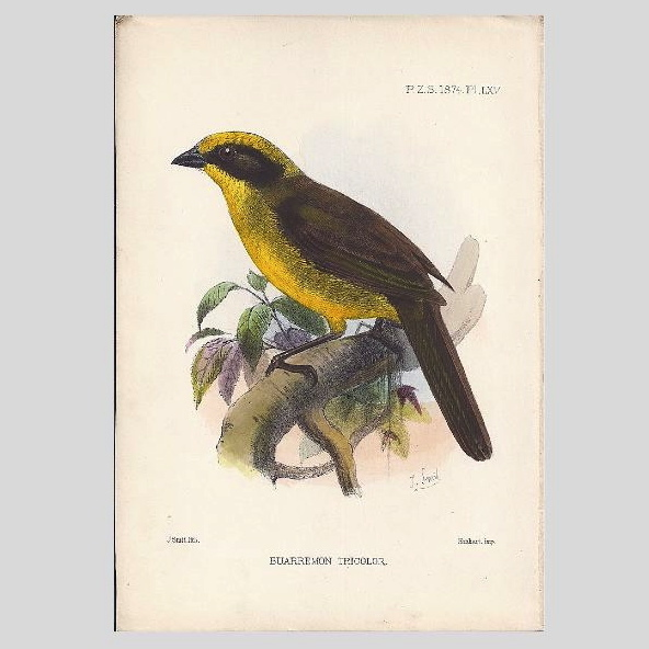 1874  Joseph Smit Hand-Finished Chromolithograph from PZS, Birds