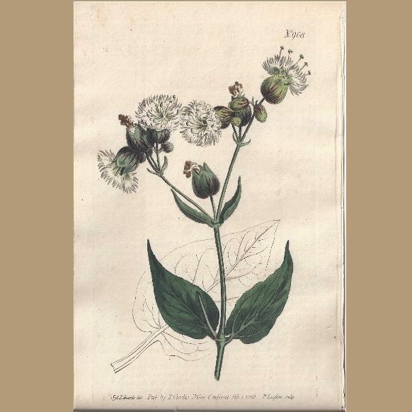 "Lovely Hand-Colored Engraving from ""The Botanical Magazine"", Curtis"