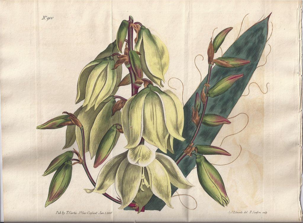 Lovely Edwards Botanical Print circa 1806 YUCCA Filamentosa