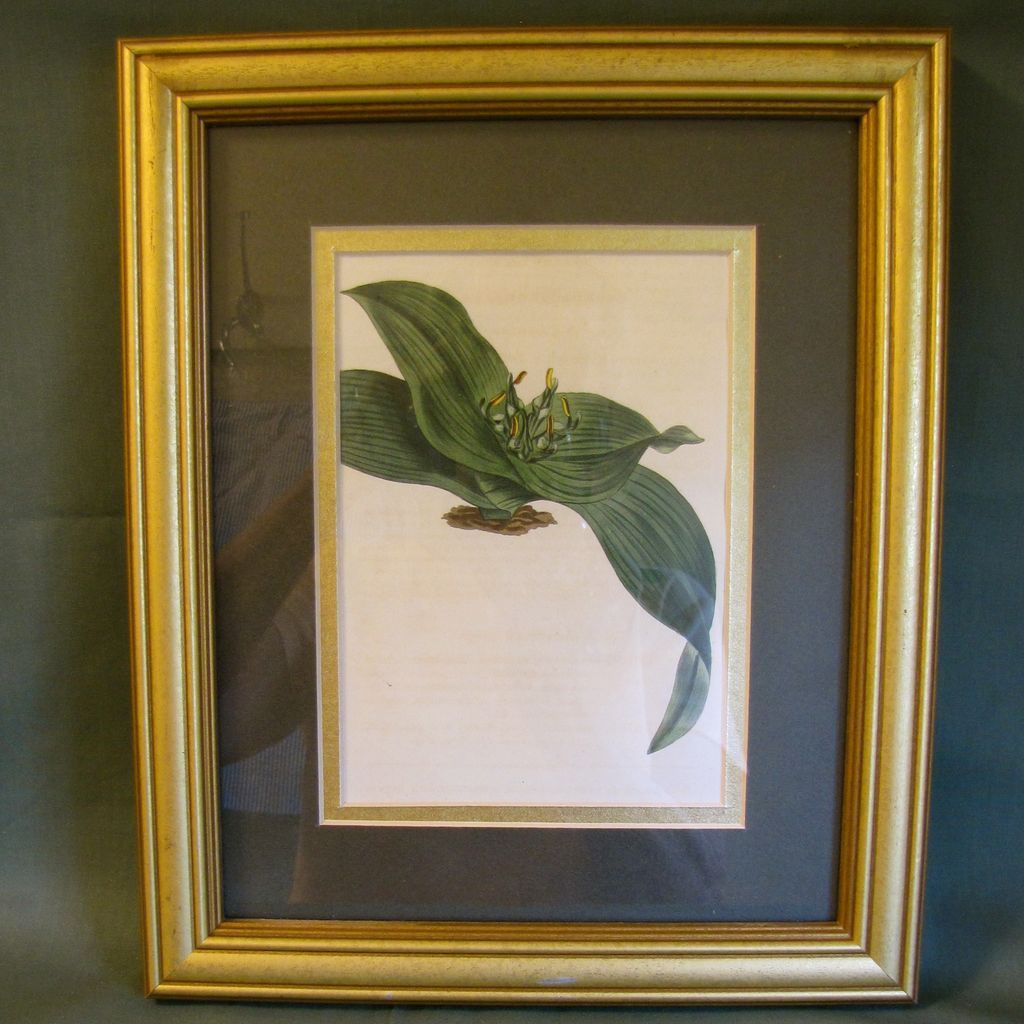 "Lovely Framed Hand-Colored Engraving from ""The Botanical Magazine"""