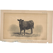 Bi-Color Lithograph Polled Angus Heifer, c. 1888 Julius Bien