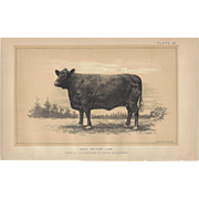 Bi-Color Lithograph RED POLLED COW c. 1888 Julius Bien