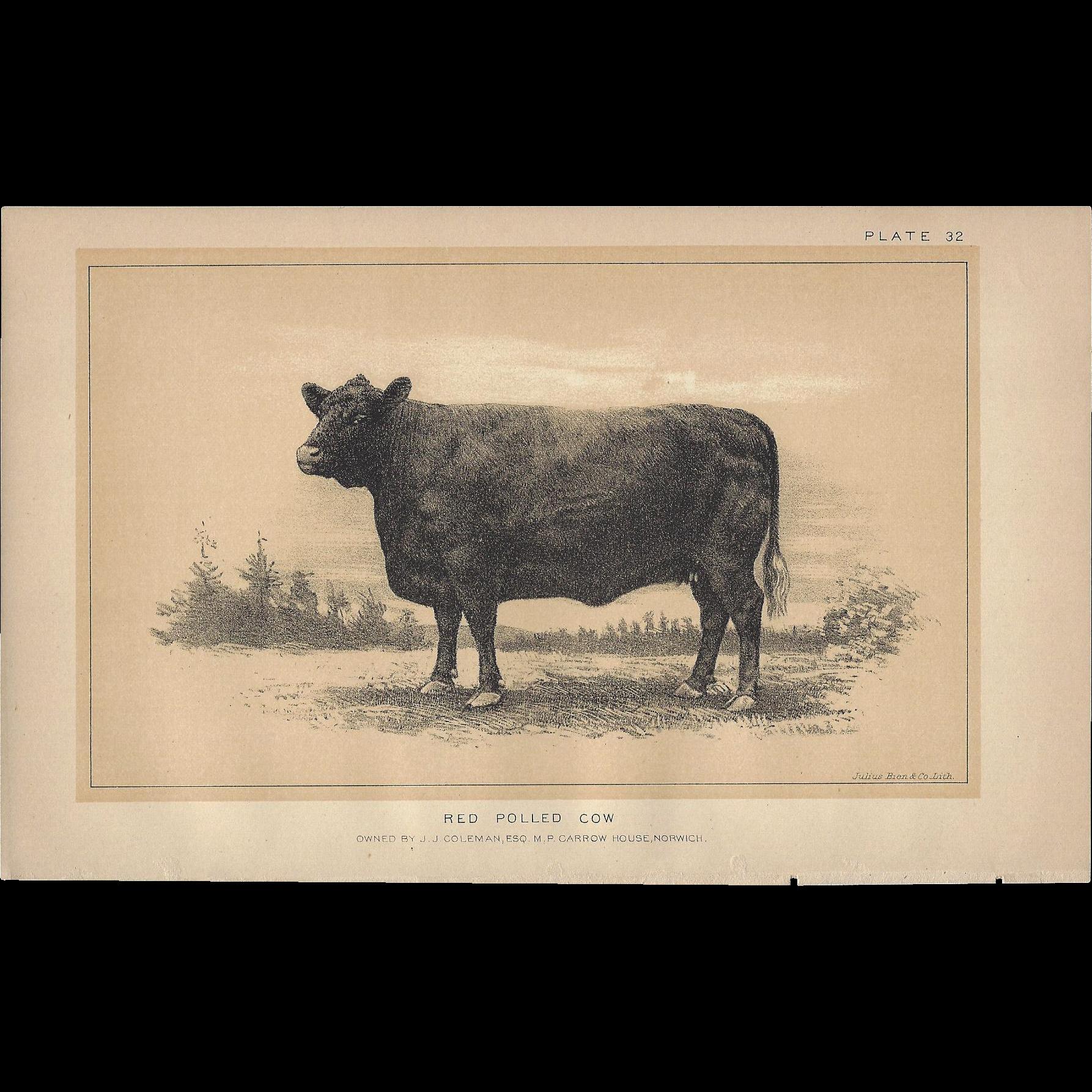 Bi-Color Lithograph RED POLLED COW c. 1888 Julius Bien
