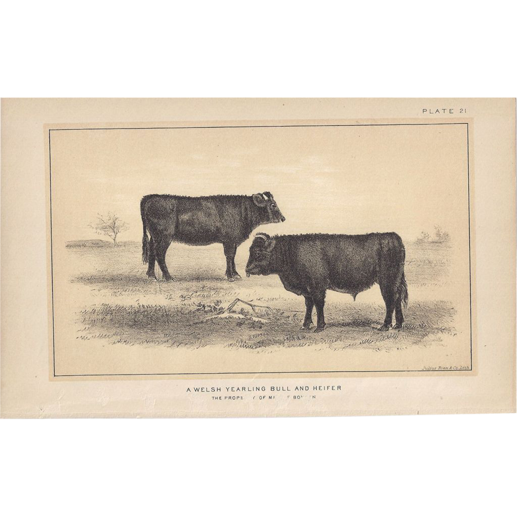 Bi-Color Lithograph WELSH Yearling BULL and HEIFER Julius Bien 1888