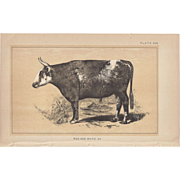 Bi-Color Lithograph Red and White OX c. 1888 Julius Bien