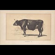 Bi-Color Lithograph NORMANDY OX c. 1888 Julius Bien