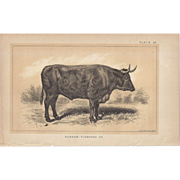 Bi-Color Lithograph DURHAM-FLAMANDE OX c. 1888 Julius Bien
