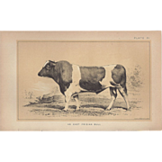 Bi-Color Lithograph An East Frisian BULL c. 1888 Julius Bien