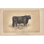 "Bi-Color Lithograph Galloway Bull ""HARDEN"" c. 1888 Julius Bien"