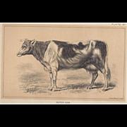 Bi-Color Lithograph DUTCH COW c. 1888 Julius Bien