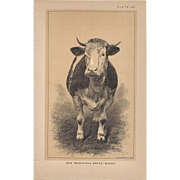 Bi-Color Lithograph Cow MESSKIRCH BREED Baden c. 1888 Julius Bien