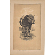 Bi-Color Lithograph BULL, Messkirch Breed, BADEN c. 1888 Julius Bien
