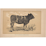 Bi-Color Lithograph C. 1888 Julius Bien Yearling, MESSKIRCH Breed (Baden)