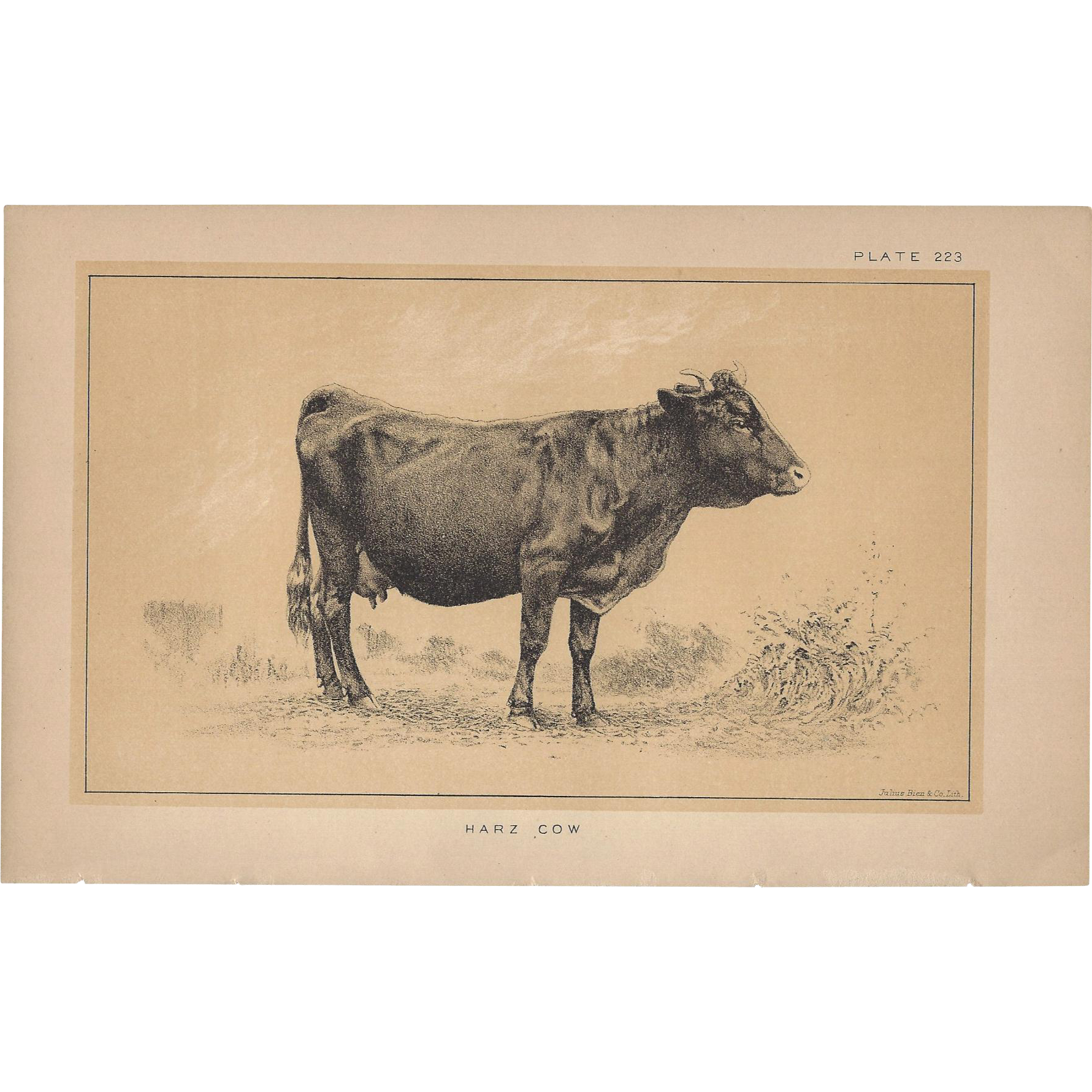 Bi-Color Lithograph C. 1888 Julius Bien HARZ COW