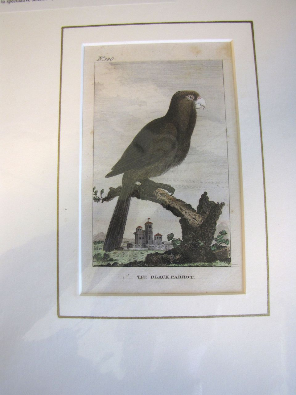 Detailed Hand-Colored  Copper-Plate Engraving, The BLACK PARROT, c. 1790