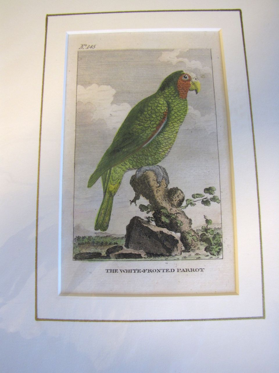 Detailed Hand-Colored  Copper-Plate Engraving, The White-Fronted PARROT, c. 1790