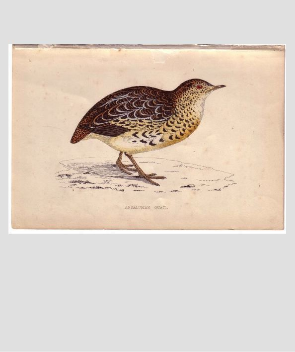 Bird Print from Natural History Book Andalusian QUAIL